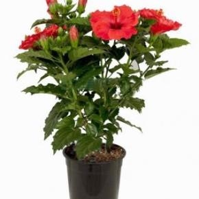 Неприхотливое в уходе растение