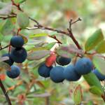 Голубика: лечебные и полезные  свойства голубики
