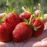 Ремонтантность  — способность растений в течение вегетационного периода цвести и плодоносить несколько раз