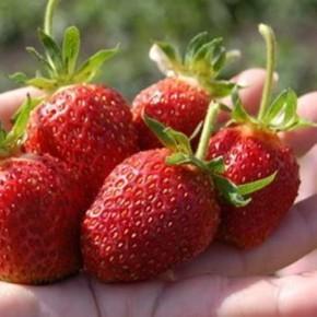 Ремонтантность  - способность растений в течение вегетационного периода цвести и плодоносить несколько раз