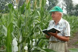 Новые гибриды кукурузы