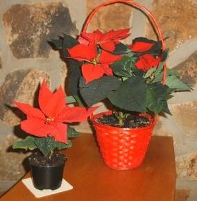 Тонкости выращивания пуансеттий:полив,освещение,удобрение растений