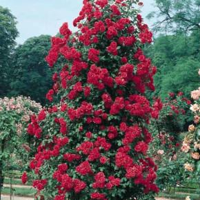 Пересадка розы:как правильно это сделать