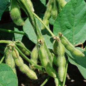Технология выращивания сои:производительность в Украине