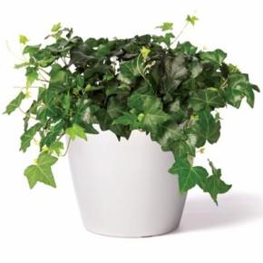 Канарский плющ - ампельное  растение