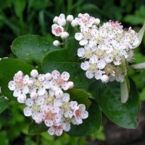 Арония черноплодная:уход,выращивание,применение