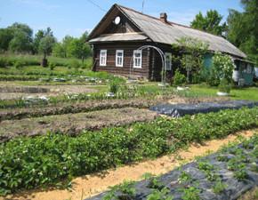 Дачный участок:мульчирования рассадных культур