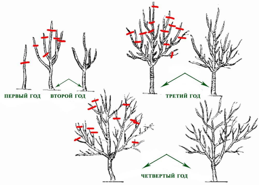 плодовых деревьев:основные
