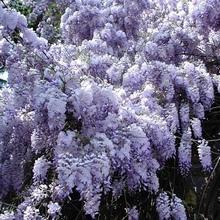 вейгела фото цветов
