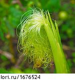 Выгодно ли выращивать кукурузу