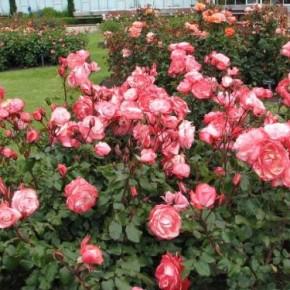 Как подкармливать розы в течении лета