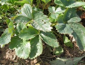 Предотвратит ли болезни земляники скашивание листьев?