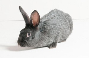 Кролики-гиганты