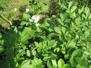 Можно ли сажать картошку в июле