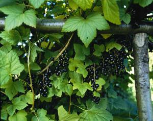 Какие сорта чёрной смородины наиболее плодородны
