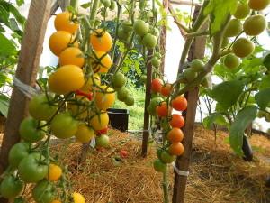 акие преимущества имеет теплица по сравнению с выращиванием овощей и зелени в открытом грунте