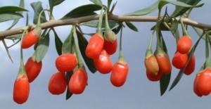 Применение плодов годжи в народной медицине