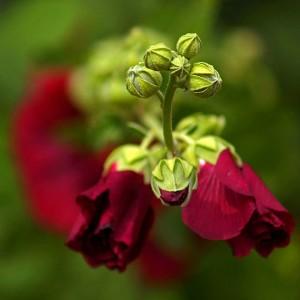 Выращивание роз