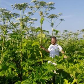 Борщевик Сосновского-опасный сорняк на огороде