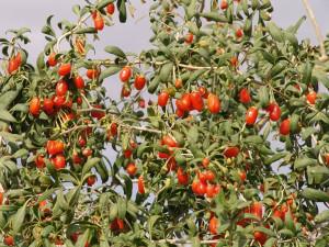 Годжи - ягода из Тибета