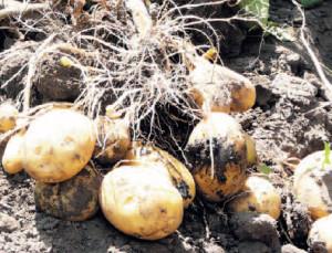 Как  сажать картофель «под плужок»