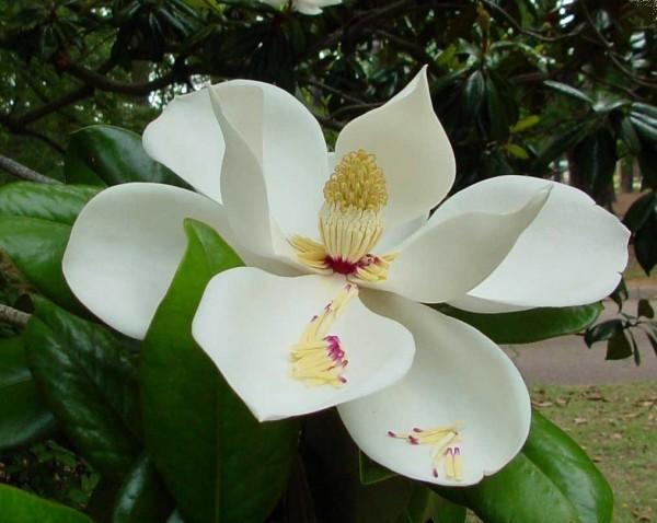 Цветы магнолии картинки
