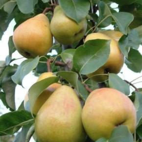 Лесная красавица:характеристика дерева