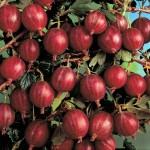 Крыжовник:когда созревают плоды