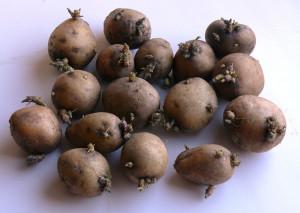 Чем грозит дачнику поздняя посадка картофеля