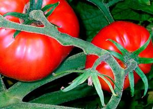 Растворы и настои для защиты томатов от фитофтороза
