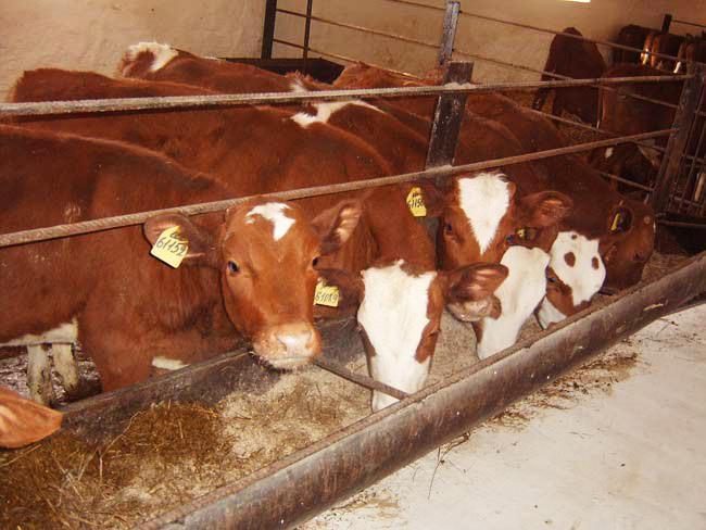 видео кормление бычков на откорме