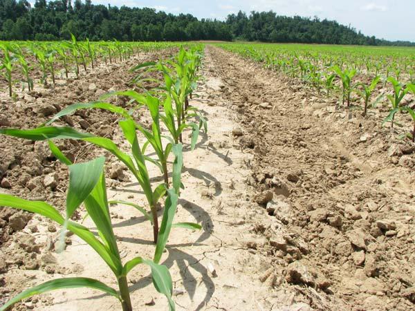 Как сажают кукурузу в поле 113