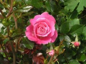 Какие удобрения нужны розам