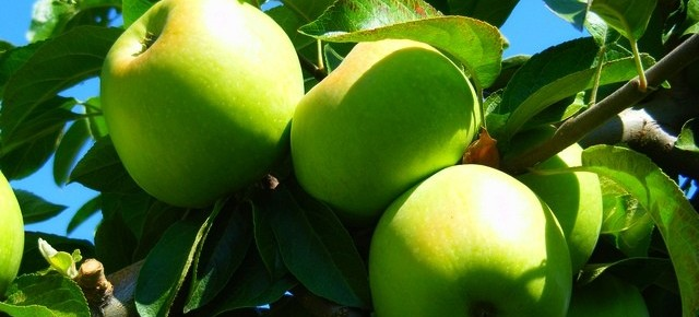 Яблоня - символ плодоводства в Украине