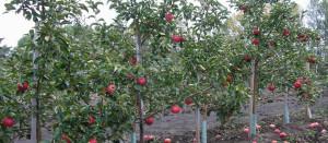 Чтобы яблони порадовали, количество плодов на дереве нужно нормировать