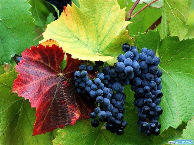 Нужно ли пасынковать виноград