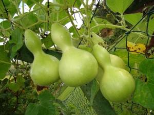Условия выращивания посудной тыквы