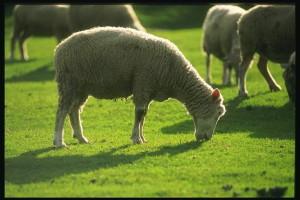 Что добавлять в рацион овец