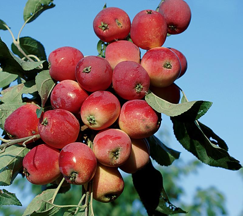 Королевское варенье из райских яблок