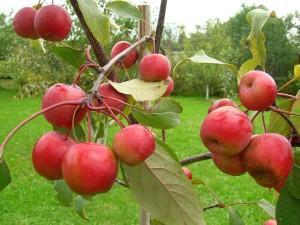 Райские яблони :выращивание и уход