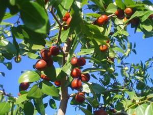 Как сушить плоды и листья зизифуса