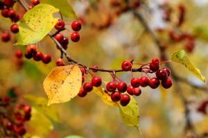 Райские яблоки - плоды вкусные после первых заморозков