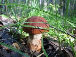 Как узнать ядовитый ли гриб
