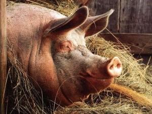 Откармливаем свинью на сало