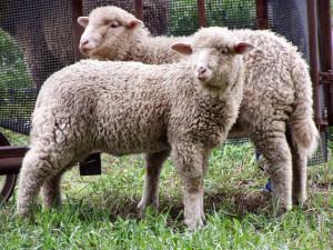 Выращивание овец