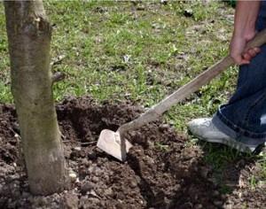 Нужно ли обкапывать деревья и кусты