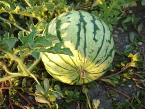 Выращивание арбузов: