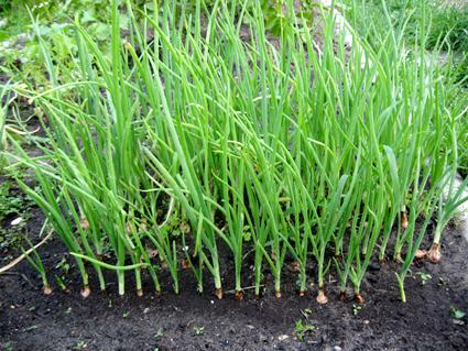 Зелень на огороде