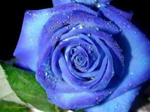 японский синий сорт роз