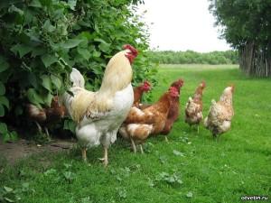 ценный корм для образования перьев у домашней птицы